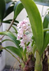 洋蘭原種 Eria.sp