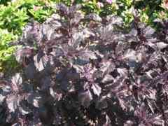 紫バジル 20粒