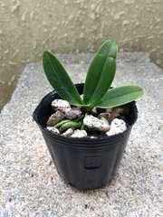 洋蘭原種 S.japonica ナゴラン 人気種