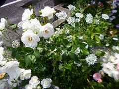 バラと合わせたい花*オルレア50粒*アグロステンマ30粒*自家採取