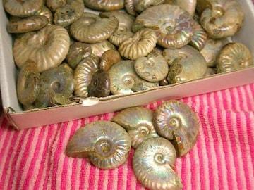 ☆虹色のアンモナイトの化石 約1kgセット☆2〜5cm程