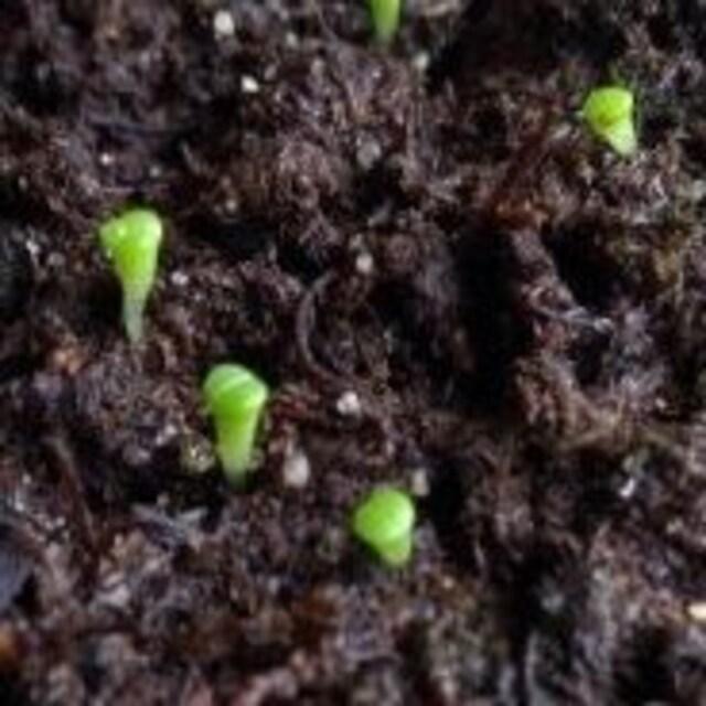 リトープス 種100粒 送料無料 MIX種子 メセン コノフィツム 多肉 < ペット/手芸/園芸の